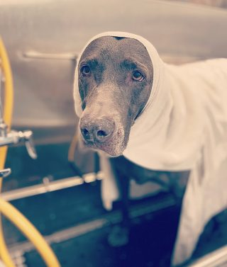 Meet Stella! ✨  Did you know every pup that comes in for a bath gets a hot towel service?? There's nothing better than having a warm towel snuggled around you after a bath. This is their time for relaxation! Stella really enjoyed being snuggled with warm towels after her bath. 🥰🛁
