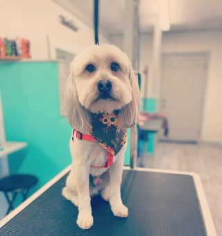 """Meet Hansel✨  Look how cute! He was such a great boy. 😍  He received a signature styled haircut today. This includes: bath, hot towel service, blow dry, teeth brushing, anal gland expression, ears cleaned, full body haircut, a little cologne, and a """"It's Fall bandana""""🍁"""