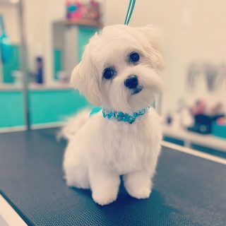 It's a Maltese kind of day at Safe Haven Grooming! ✨